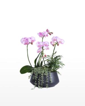 A multi-stem phalaenopsis orchid presented in an elegant ceramic pot