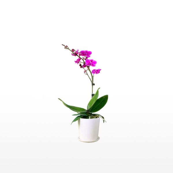 A single stem phalaenopsis orchid presented in an elegant ceramic pot