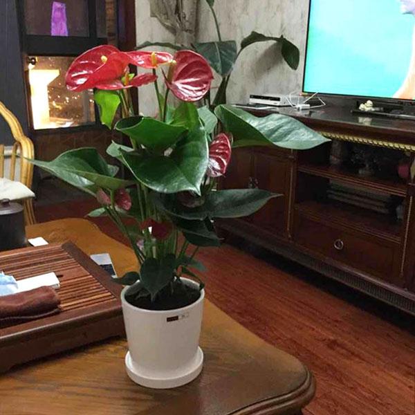 Medium anthurium plant presented in a classic pot